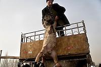 Uighur sellers unload lambs and sheep for sale at the Sunday Animal Market in Kashgar, Xinjiang, China.
