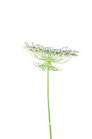 30099-00706 Queen Anne's Lace (Daucus carota) (high key white background) Marion Co. IL