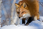 Red fox (Vulpes vulpes) walking in the snow.  Minnesota.