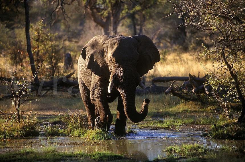 An AFRICAN ELEPHANT (Loxodanta Africana) walking across the OKAVANGO DELTA - BOTSWANA