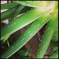 The aloe plant in our hallway grows in many directions, as seen March 21, 2013.