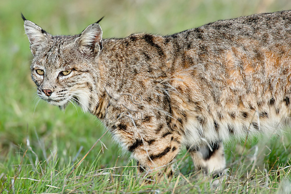 Wild Bobcat (Lynx rufus) walking though grass in Central California.  December.  (Completely wild, non-captive cat.)