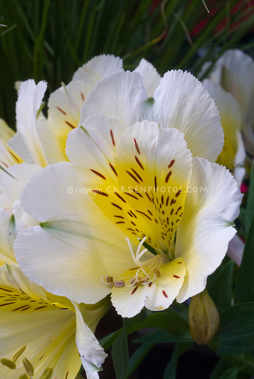 Alstroemeria 'Intichantha Sunlight' yellow gold flowers