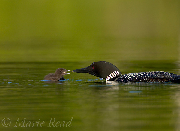 Common Loon (Gavia immer) adult feeding chick, Michigan, USA.