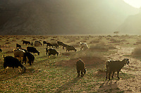 Goats grazing on sparse tussock in the Wadi Rum desert, Jordan.