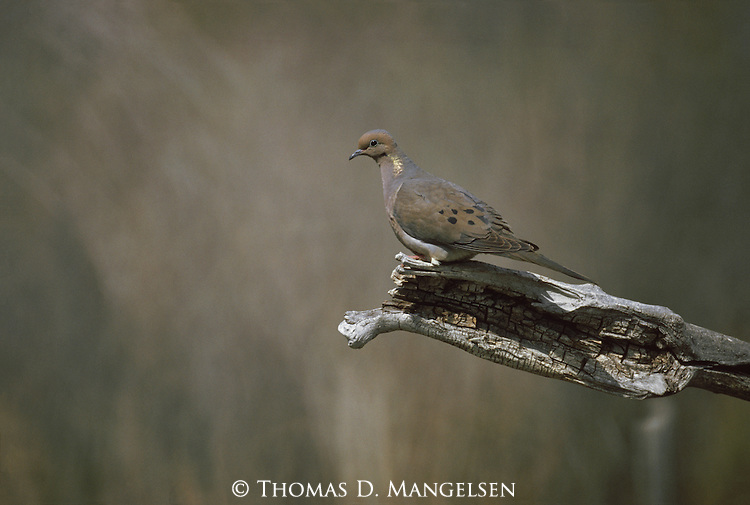 A mourning dove perched on a branch in Colorado.