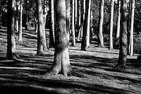 Pine Trees at Hazelbank on the banks of the River Clyde, Clyde Valley, South Lanarkshire