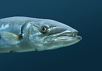 Great Barracuda - Sphyraena barracuda