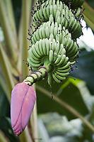 """France/DOM/Martinique/ Sainte-Marie: Plantation bananière """"Le Limbé""""  -Musée de la Banane-  Bananes  dessert Yangambi - Régime de bananes et fleur de bananier"""