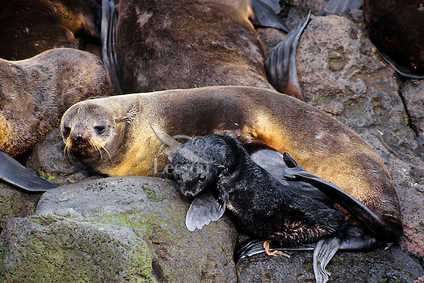 Female Northern Fur Seal with very young pup, Alaska.