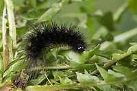 Hofdame, Raupe frisst an Löwenzahn, Hyphoraia aulica, Brown Tiger Moth, Noble Tiger, caterpillar, Ecaille noble, Petite Ecaille brune, Bärenspinner, Arctiidae, Arctiinae, erebid moths, erebid moth, woolly bears, woolly worms