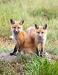 Two Red Fox pups at the den site.