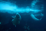 beluga whale, Delphinapterus leucas, body and tail, under water, captive