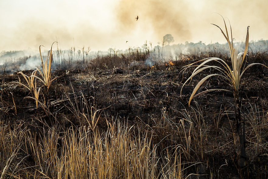 In order to facilitate the cutting, sugar cane workers burnt part of the fields. Sugar cane plantation of Srei Ambel (Koh Kong - Cambodia). 16 Jan. 2013 © Thomas Cristofoletti / Ruom