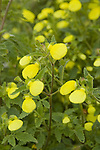 CALCEOLARIA MEXICANA GOLD PURSE, SLIPPER FLOWER