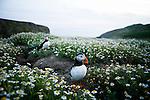 Atlantic Puffin (Fratercula arctica) pair at coastal breeding colony, Skomer Island National Nature Reserve, Skomer Island, Pembrokeshire, Wales, United Kingdom
