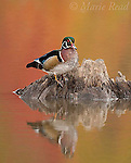 Wood Duck (Aix sponsa), male perched on a drowned tree stump in autumn, fall color reflection in water, Ohio, USA