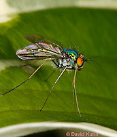 1225-0901  Long-Legged Fly, Family: Dolichopodidae  © David Kuhn/Dwight Kuhn Photography