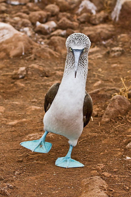 Blue-footed Booby strutting right towards the viewer with one blue foot in the air and the very distinctive look on its face. Background is the reddisht earth of Rabida Island.