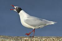 Mediterranean Gull - Larus melanocephalus - coming into summer plumage