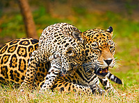 Jaguar (Panthera onca) cub snuggles against mother?s cheek