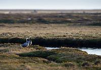 Emperor Goose (Chen canagica) on coastal tundra landscape. Yukon Delta, Alaska. June.