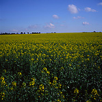 A3AAK4 Yellow flowers of oil seed rape crop in field Suffolk England