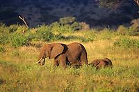 African elephant cow and calf walk across grasslands in the Masai Mara, Kenya.