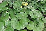 GIANT LEOPARD PLANT, LIGULARIA TUSSILAGINEA 'GIGANTEA', i.e. FARFUGIUM JAPONICUM