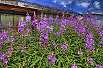 Fireweed in Yellowknife's Old Town