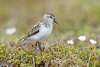 Semipalmated Sandpiper (Calidirs pusilla) giving alarm call. Yukon Delta National Wildlife Refuge. June.