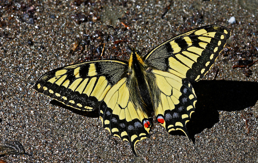 Russia, Caucasus, Teberdinsky biosphere reserve. Swallowtail (Papilio machaon) sunbathing on a riverbank in Arkhyz section of the park.