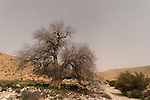 Israel, the Negev desert. Atlantic Pistachio in Wadi Elot