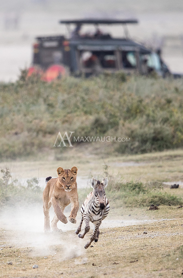 Another hunt we witnessed. This young lion failed to catch the zebra foal.