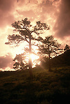 A sunset silhouette creates a sunstar through a ponderosa pine (Pinus ponderosa), Rocky Mtn Nat'l Park, CO