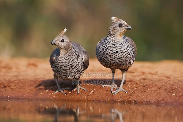 Scaled Quail (Callipepla squamata), pair drinking, Rio Grande Valley, Texas, USA