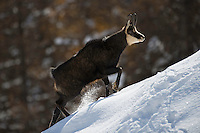 10.11.2008.Chamois (Rupicapra rupicapra). Walking..Gran Paradiso National Park, Italy