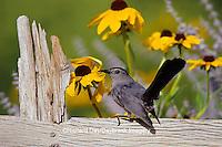 "01392-02320 Gray Catbird (Dumetella carolinensis) on wooden fence near Black-eyed Susans (Rudbeckia hirta ""Indian Summer"")  IL"