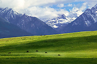 Grazing cows and Wallowa Mountains at Zumwalt Prairie Nature Conservatory. Oregon