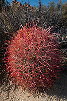 Red Barrel (Ferocactus cylindraceus) Cactus, Willow Hole Trail, Joshua Tree National Park, California, US