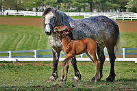 Mare and young colt in paddock, Kentucky Horse Park, Lexington, Kentucky