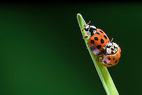 Nine-spotted Ladybug Beetles ( Coccinella novemnotata ) mating.  Ladybugs are among the most familiar beetles seen around the backyard due to their round, orange bodies. Nova Scotia, Canada. Spring.