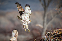 A hawk landing at Bosque Del Apache National Wildlife Refuge in New Mexico.