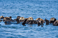 Sea Otter Raft, California sea otter, Enhydra lutris nereis, rafting, Monterey, California, USA, Pacific Ocean