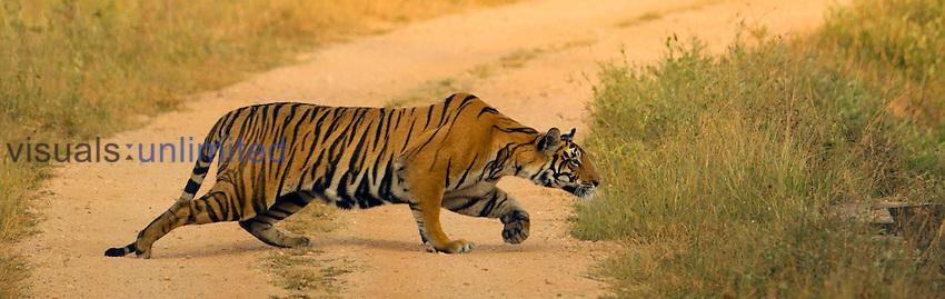Bengal Tiger (Panthera tigris tigris) stalking across road, Kaziranga National Park, Madhya Pradesh, India