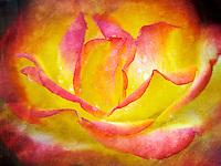 Taquila Sunrise rose. Oregon