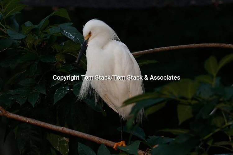 Snowy egret in breeding plumage. Egretta thula