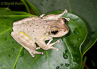 0201-0914  Cuban Treefrog (Cuban Tree Frog) on Tropical Leaf, Osteopilus septentrionalis  © David Kuhn/Dwight Kuhn Photography