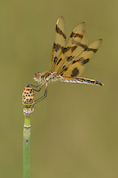 Halloween Pennant (Celithemis eponina) Dragonfly - Female, Ward Pound Ridge Reservation, Cross River, Westchester County, New York