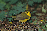 Hooded Warbler, Wilsonia citrina, female, High Island, Texas, USA, April 2001